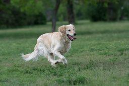 Arthritis beim Hund