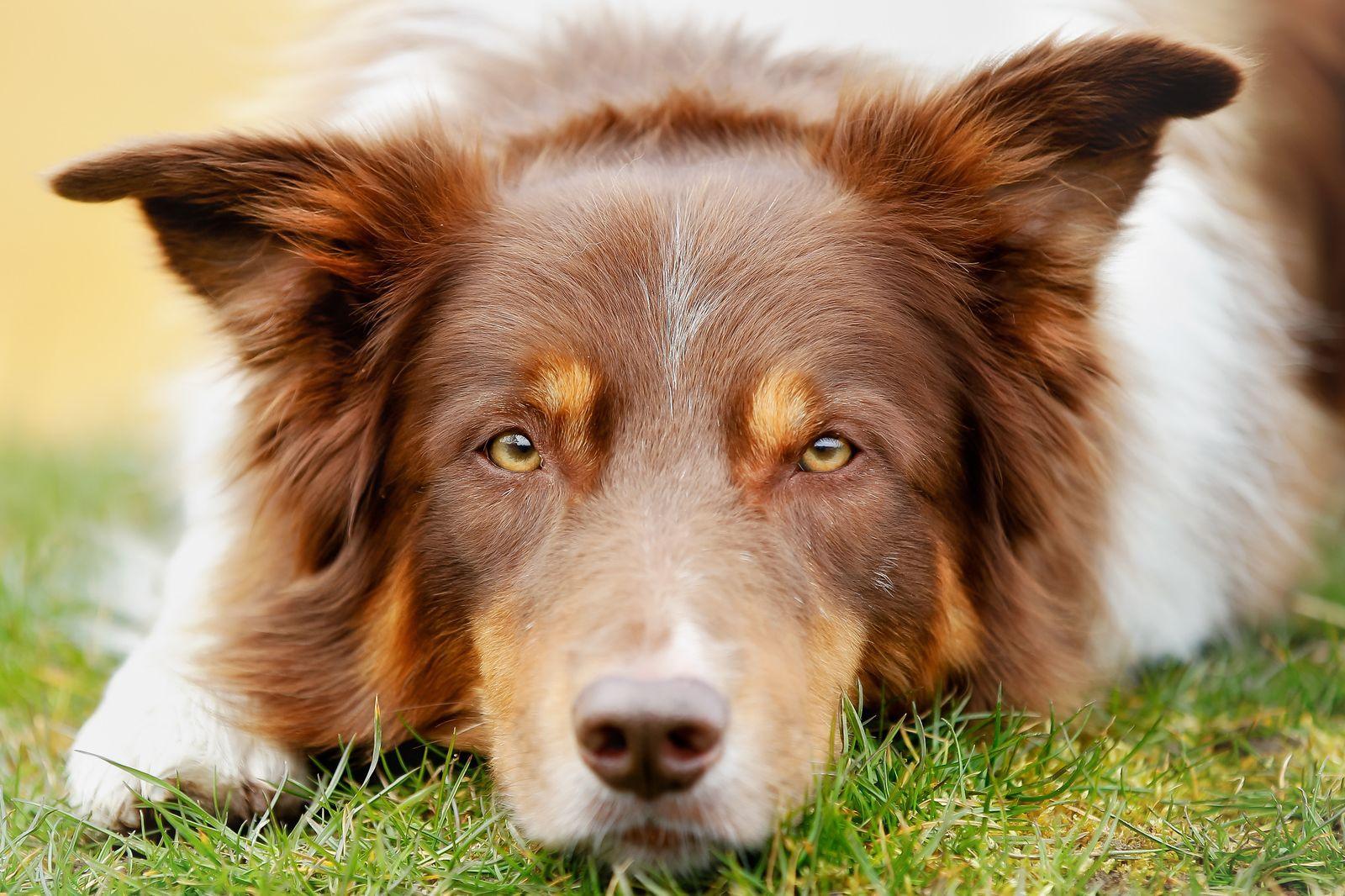 Fütterungsfehler Führen Oft Zu Verdauungsstörungen Beim Hund