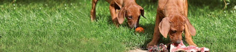 Barfen beim Hund – auf Mangelversorgung achten!