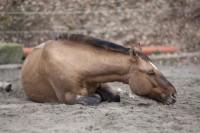 Equine infektiöse Anämie - eine tödliche Viruserkrankung beim Pferd