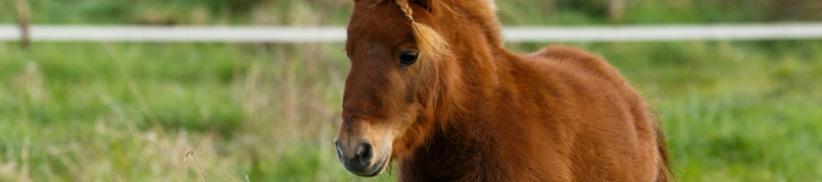 Hufrehe, EMS, Cushing und andere Stoffwechselprobleme beim Pferd