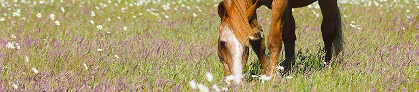 Saatgut für Pferdeweiden - Machen Sie Ihre Weide wieder fit!
