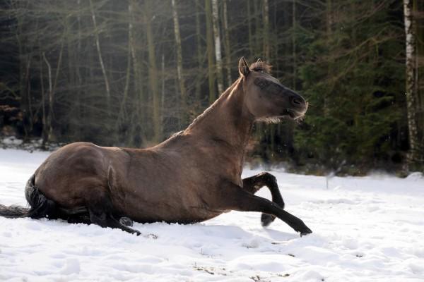 ataxie-beim-pferd