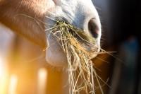 Magengeschwür beim Pferd