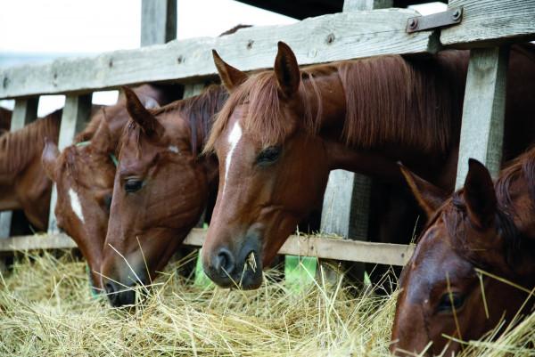 allergischer-husten-beim-pferd-expertentipp