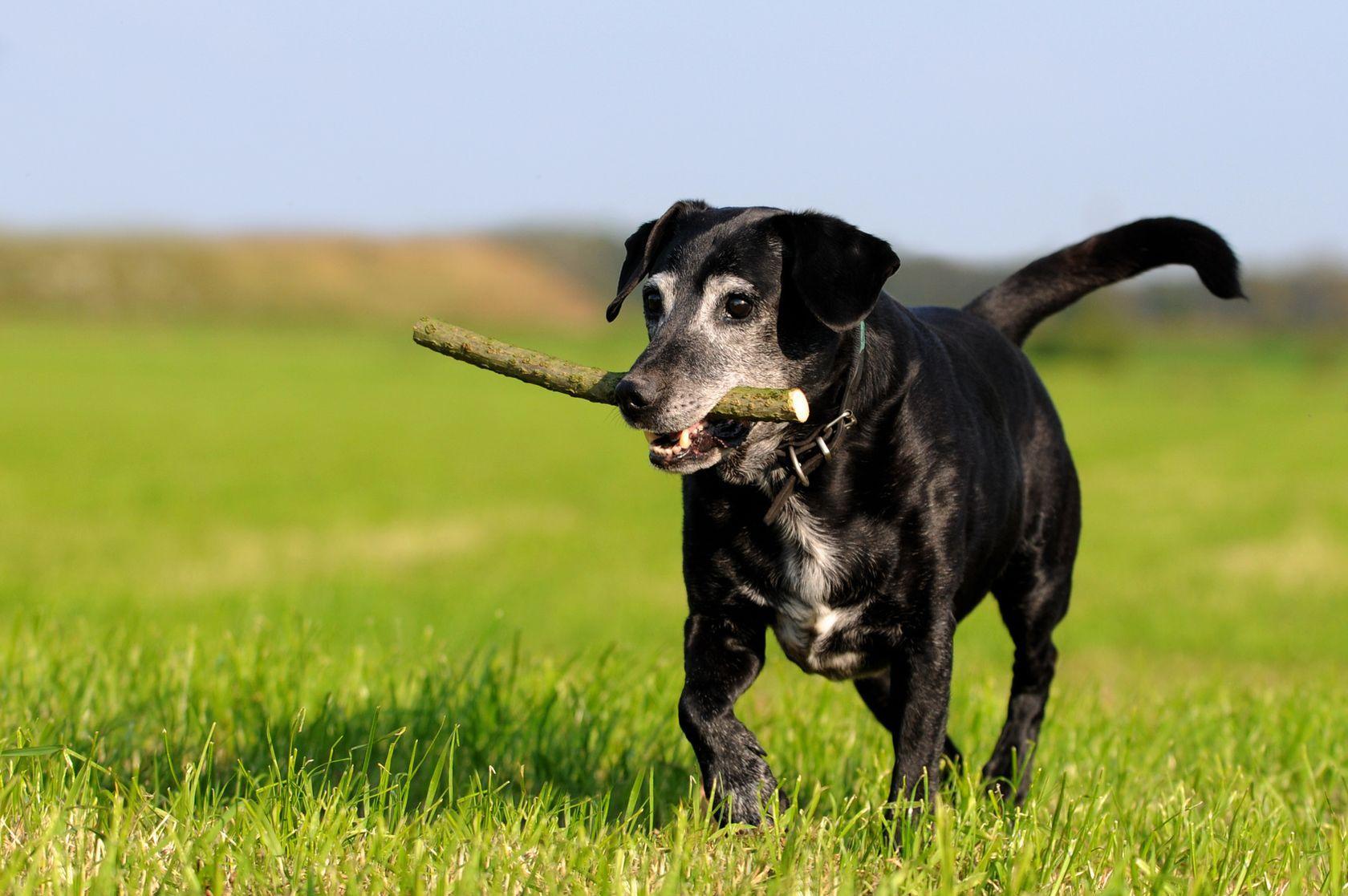 Arthrose beim alten Hund