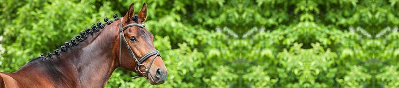Strahlende Mähne und Schweif, glänzendes Fell und gesunde Haut beim Pferd