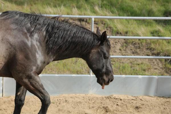 masterhorse-equine-infektioese-anaemie