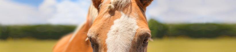 Natürlicher Mückenschutz für Pferde – was kann ich füttern?