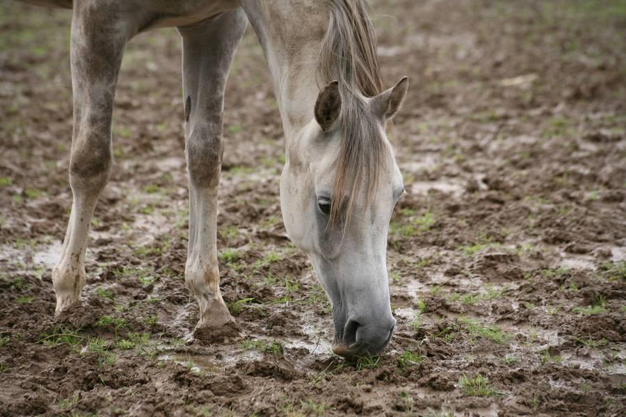 Was ist unter der Hauterkrankung Mauke beim Pferd zu verstehen?