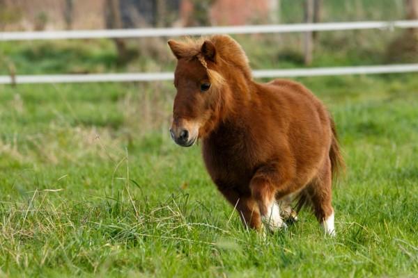 hufrehe-beim-pferd