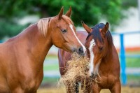leber-beim-pferd-fuetterung