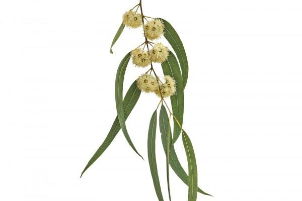 masterhorse-eukalyptus_pflanze
