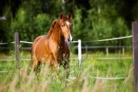 Angelaufene Beine beim Pferd