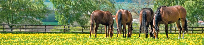 Leber-Funktion beim Pferd mit Kräutern unterstützen