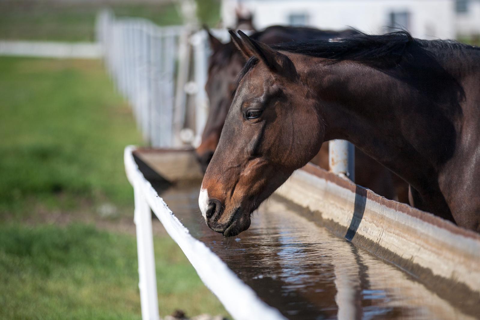 Nieren beim Pferd