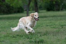 arthritis-hund
