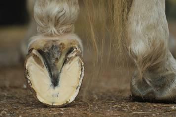 Schlechte Hufe beim Pferd