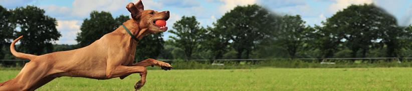 Arthrose oder Gelenkschmerzen beim Hund