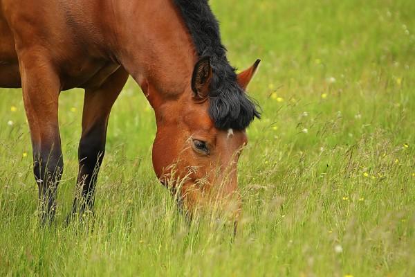 herzerkrankungen-beim-pferd