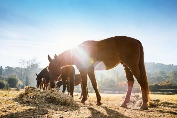 allergischer-husten-beim-pferd